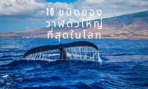 10 ชนิดของวาฬตัวใหญ่ที่สุดในโลก