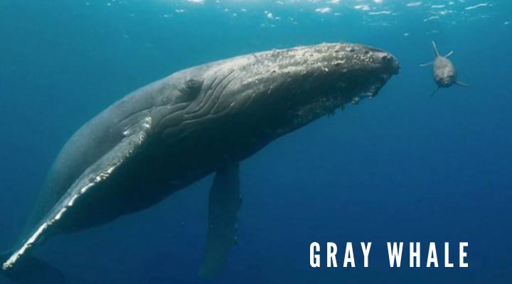 10 ชนิดของวาฬตัวใหญ่ที่สุดในโลก วาฬสีเทา (Gray whale)