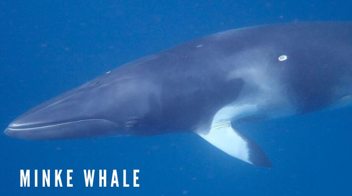 10 ชนิดของวาฬตัวใหญ่ที่สุดในโลก วาฬมิงก์ (Minke whale)