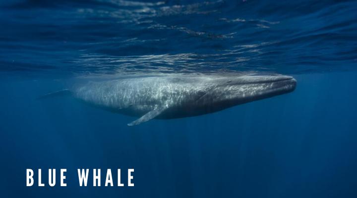 วาฬสีน้ำเงิน (Blue Whale)
