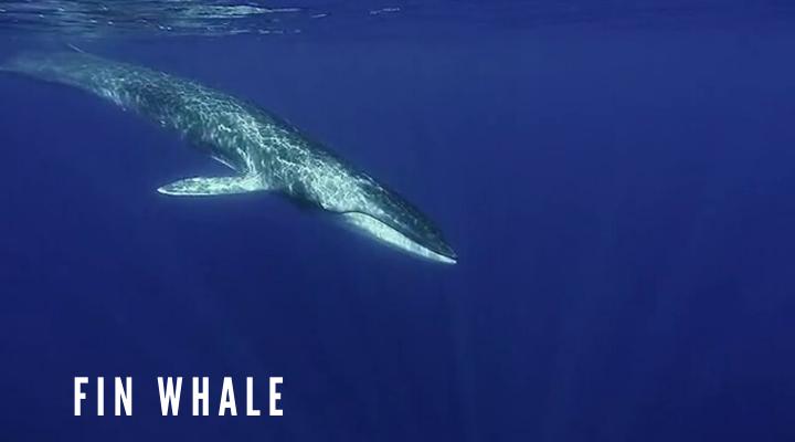 วาฬฟิน (Fin whale)
