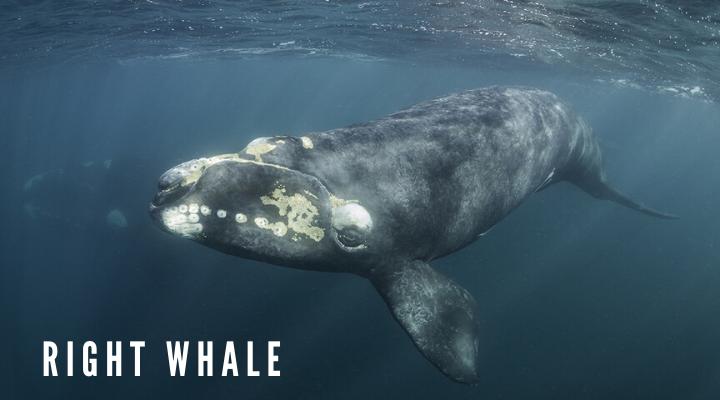 วาฬไรท์ (Right whale)