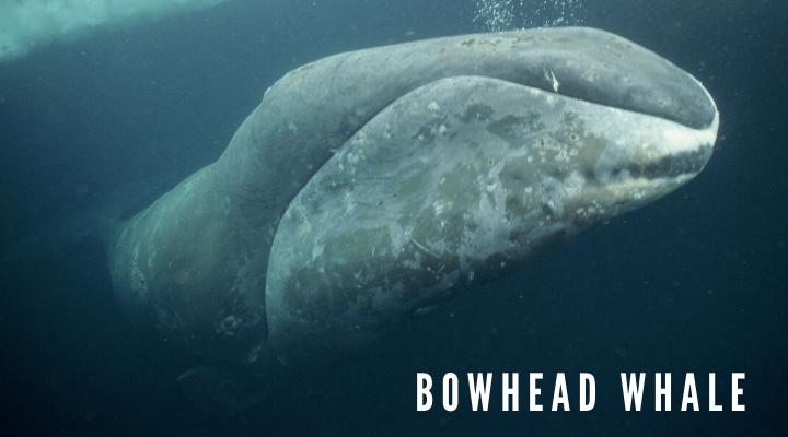 10 ชนิดของวาฬตัวใหญ่ที่สุดในโลก วาฬหัวบาตร (Bowhead whale)