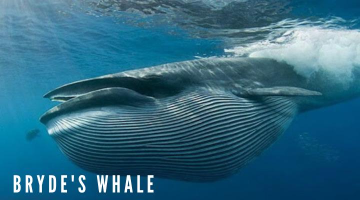 10 ชนิดของวาฬตัวใหญ่ที่สุดในโลก วาฬบรูดา (Bryde's whale)