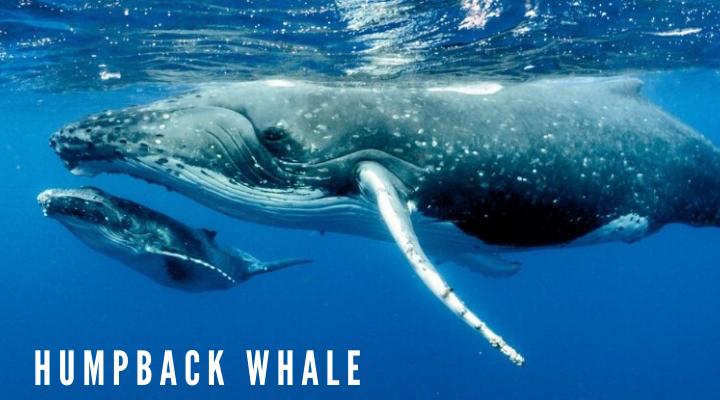 10 ชนิดของวาฬตัวใหญ่ที่สุดในโลก วาฬหลังค่อม (Humpback whale)